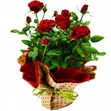 Горшечное растение Роза (микс)