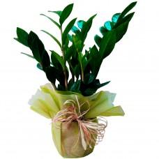 Горшечное растение Замиакулькас