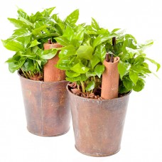 Горшечное растение Кофейное Дерево