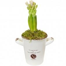Горшечное растение Гиацинт в кашпо